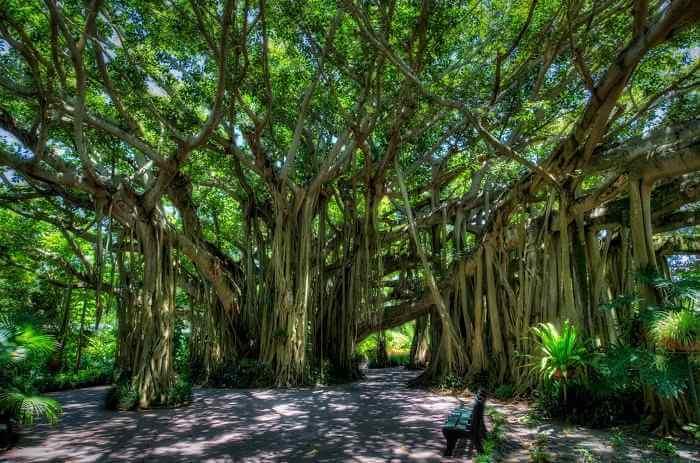 Indian-banyan-tree